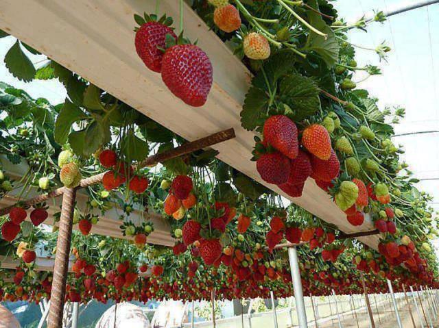 висящи ягоди