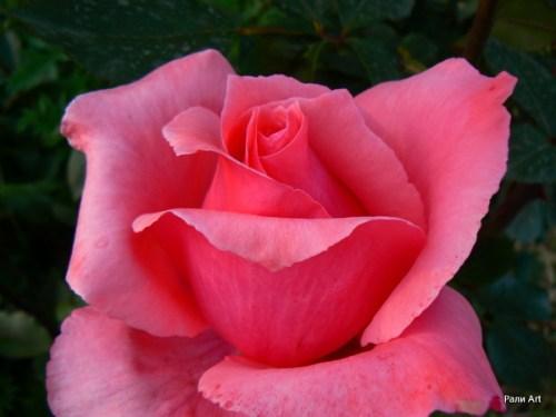 сироп от рози