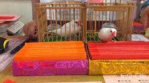 台湾の小鳥占い