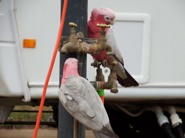 Galahs trying to turn on the tap