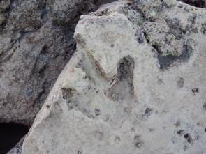 Fossilized Dinosaur Foorprint