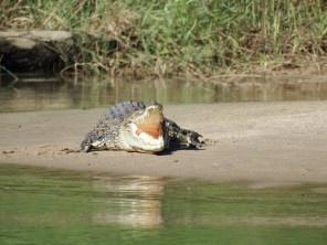 Saltwater Crocodile on East Alligator River, Kakadu NP