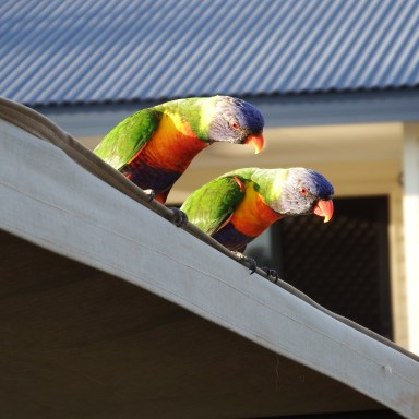 Couple of lorikeets came visiting our camp