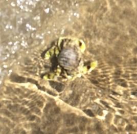 Crab at Mission Beach