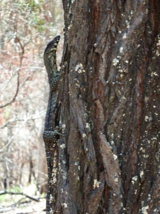 Lace Monitor hanging around up at Mount Coot-tha