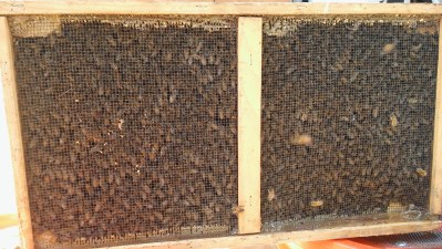 Bees in cage after live removal.