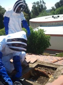 Beehive removal out of a roof at the Webb school in Claremont.