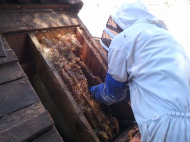 Pulling more honeycomb out of a roof in Glendale CA.