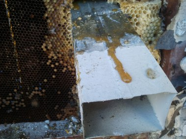 Honey dripping out of the comb.