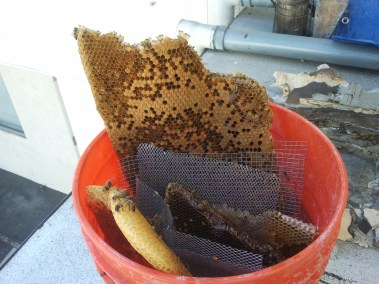 Honeycomb containing larvae in a bucket.