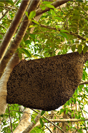 swarm of bees in a tree in arcadia