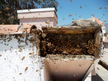 Bees exploding out of a hive during a live bee removal in Arcadia.