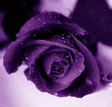 puple rose
