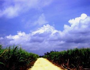 サイパンのサトウキビ畑(栗原さん提供)