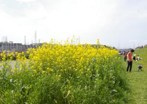 綱島駅側、大綱橋方面から会場への河川敷では、のんびり菜の花を見ながら散策できる(2016年4月9日)
