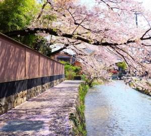 京都情侶賞櫻