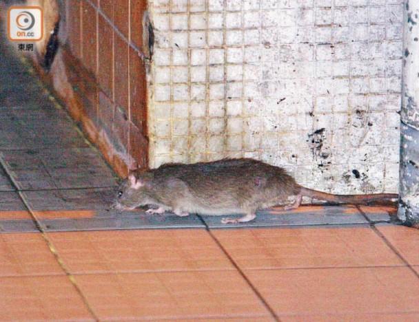 針對社區鼠患 食環署下周起全港滅鼠2個月|即時新聞|港澳|on.cc東網