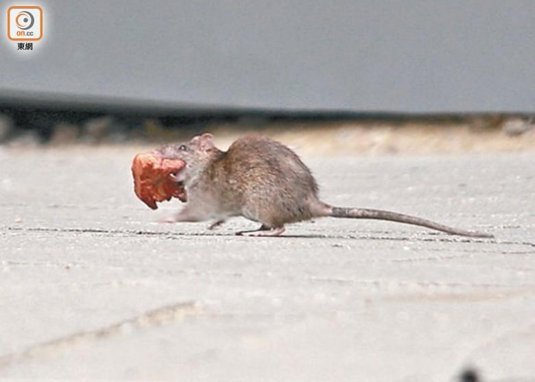 食環署滅鼠行動日捉12隻老鼠 議員批世紀級無能|即時新聞|港澳|on.cc東網