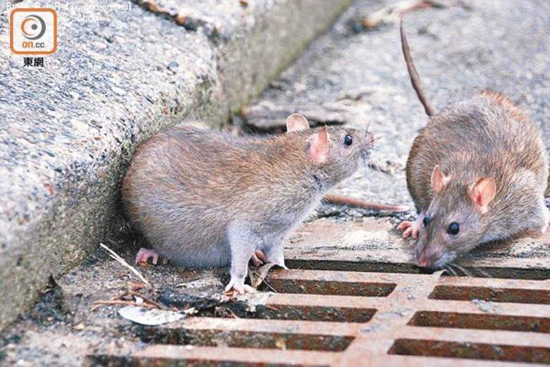 街市鼠患恐播疫 議員憂新冠戊肝「雙炎」夾撃|即時新聞|港澳|on.cc東網