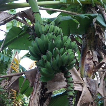 Bananas on the trail