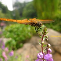 黄色蜻蜓 dragonfly in yellow