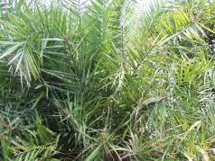 spiny date-palm