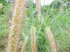 chinese pennisetum