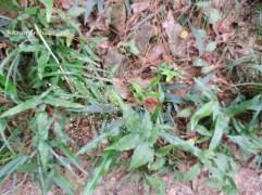 panicum brevifolium l.