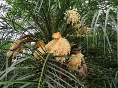 13 Spiny date palm