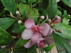 4 Rose Myrtle