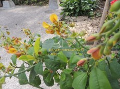 crotalaria retusa feb14