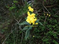 primrose jasmine 2014