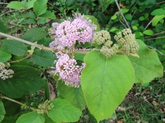 formosan beautyberry