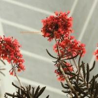 洋吊鐘 chandelier plant (bryophyllum tubiflora)