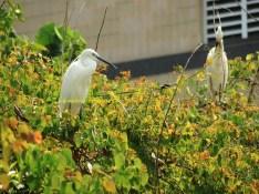 intermediate egret apr15