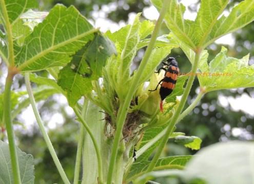大斑芫菁 chinese blister beetle jul15