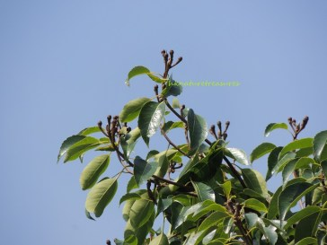 木荷 chinese guger-tree 2015