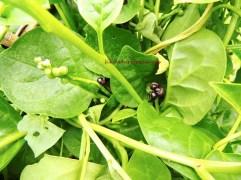 潺菜 vine spinach white jul15