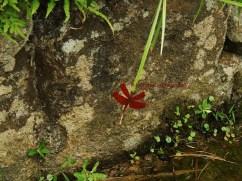 網脈蜻 fulvous forest skimmer jul15