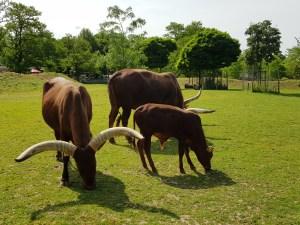 Der Zoo Neuwied hat eine große Gruppe Watussirinder, die ein besonderer Blickfang sind.