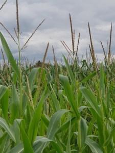 Felder entlang des Fernradweg R8 geben über das Jahr verschiedene Einblicke.