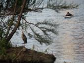 Blue Heron on Lady Bird Lake