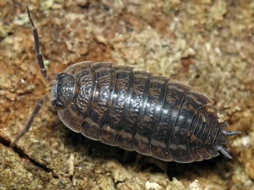 insectele mușcă penisul