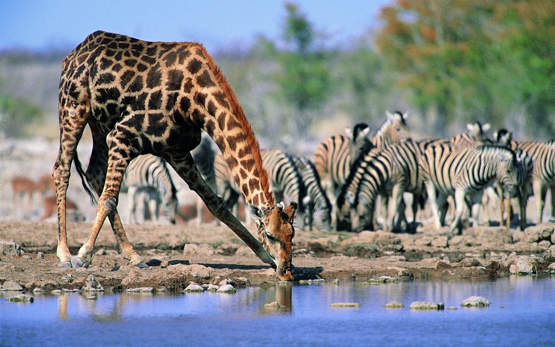 Giraffe Facts Information Pictures And Video Learn More