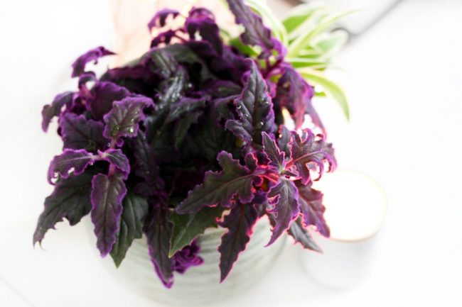 Fluweelplant-paars-onderhoud-makkelijk-blog-paars
