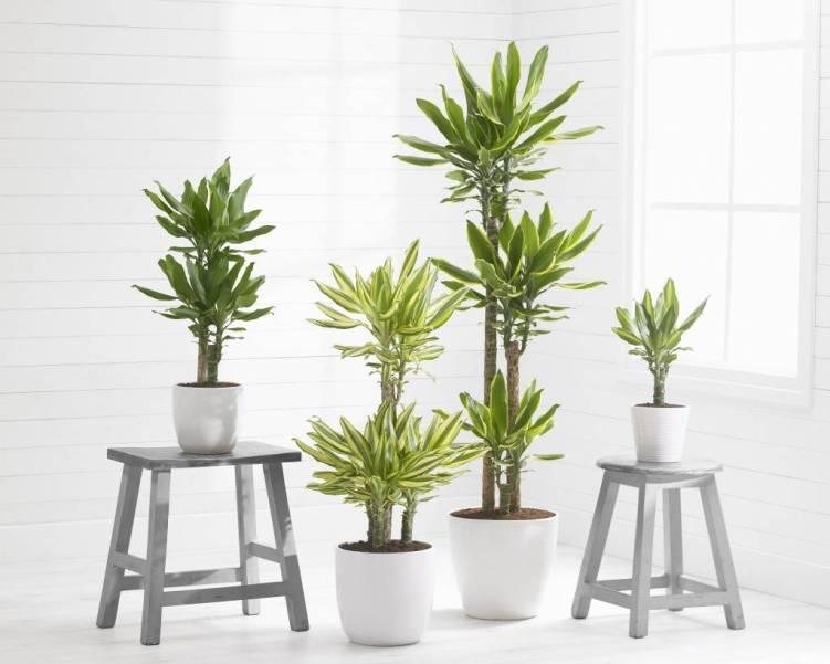 verzorging-dracaena-plant