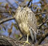 Black-crowned Night Heron (Jim Hughes)