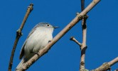 ?female Blue-gray Gnatcatcher © Anne McDermaid