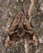 Lettered Sphinx (Deidamia inscriptans) © Fiona Reid