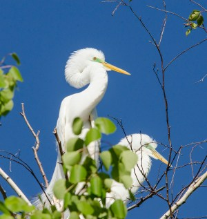 Great Egret © Anne McDermaid